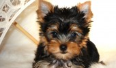 Yorkshire Terrier puppies for sale Illinois