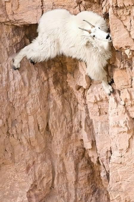 Caprele de munte, cățărări extreme!