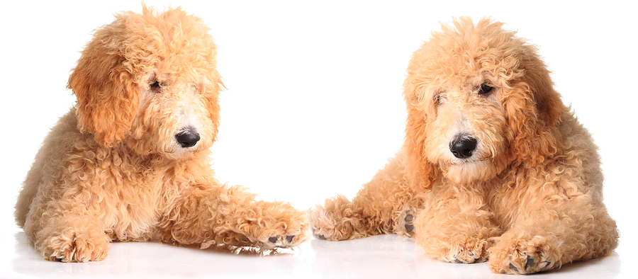 bigstock-Two-golden-doodle-puppies-isol-15285308