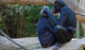 bonobo kissing