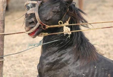 Europenii au mancat carnea cailor de la Letea?