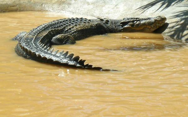 A murit Lolong, cel mai mare crocodil din lume!