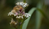 cute-animal-happy-mouse-hamster-clumbing-flowers-smiling-pics