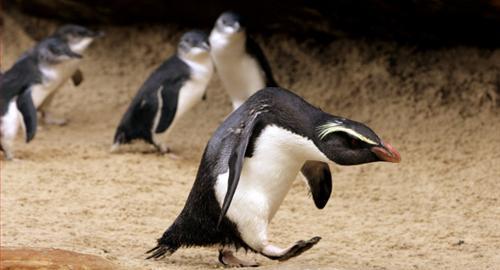 Si pinguinii aluneca pe gheata! VIDEO