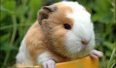 Adorabilul Porcușor de Guineea | VIDEO