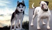 Competitie intre Bulldog American si Husky!