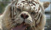 inbred-white-tiger-kenny-1