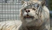 inbred-white-tiger-kenny-2