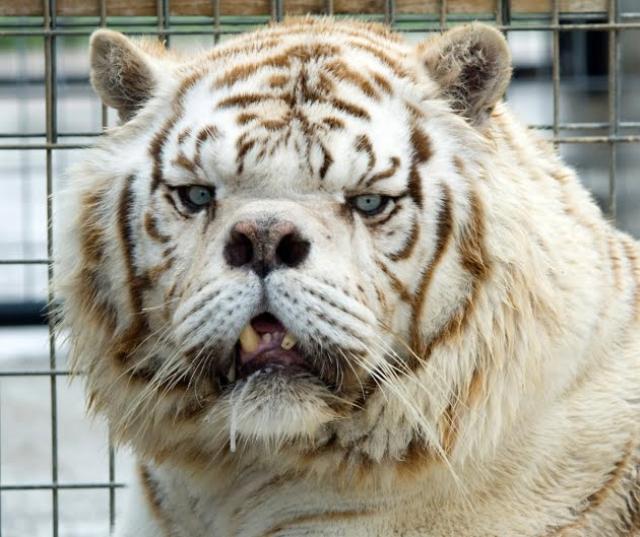 inbred-white-tiger-kenny-3
