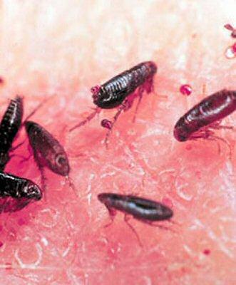 paraziti externi