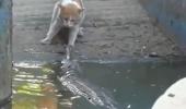 Pisica versus crocodil!