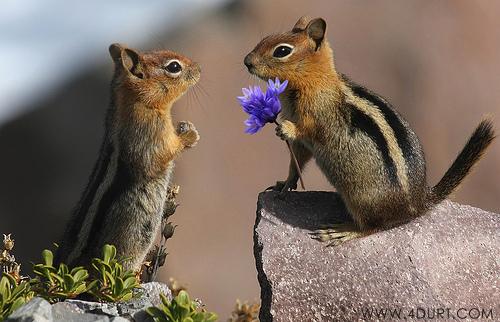 valentine-chipmunks