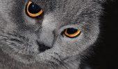 Iubesti pisicile, dar te sperie parul lor? Iti recomandam cateva rase usor de ingrijit…