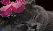 Cute British Shorthair tablets wallpapers 1024x1024 (02)