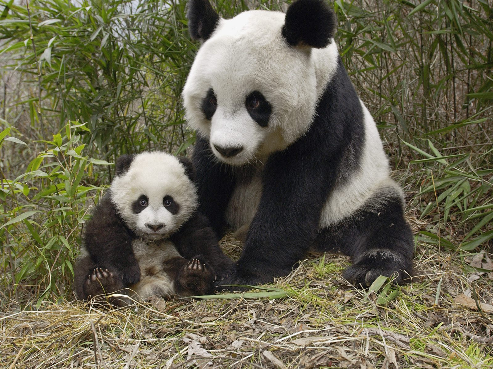 Giant-Panda-Mother-and-Cub-Molong-Nature-Reserve-China