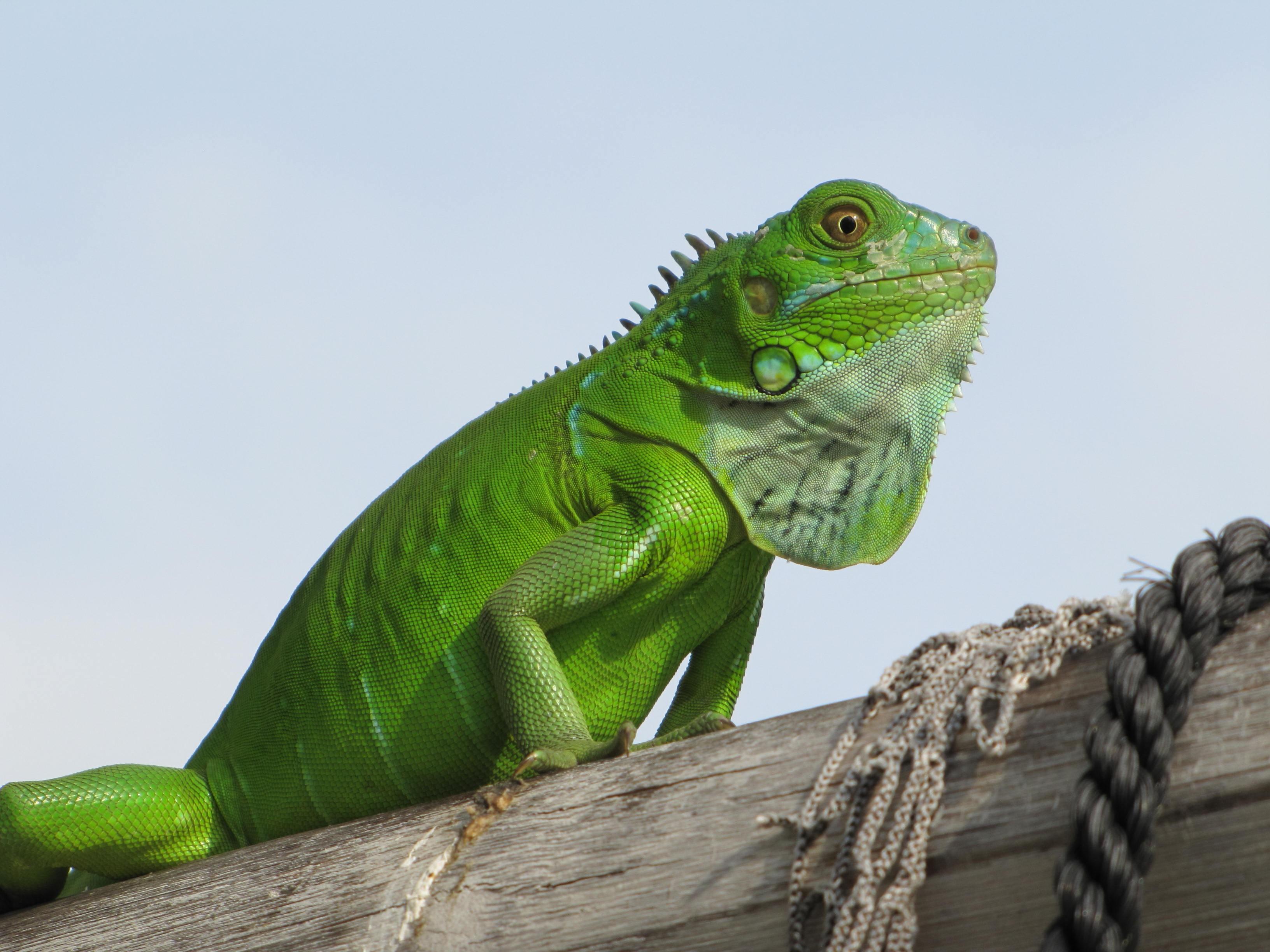 Cele mai frecvente boli la iguane