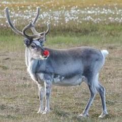 Comerţul cu renii lui Moş Crăciun, crescuţi la temperaturi de 30 de grade Celsius.