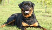 Sobru, ponderat, loial! Intr-un cuvant: Rottweiler!