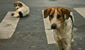 Stray_dogs_crosswalk