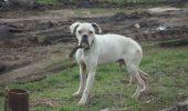 boxer alb popesti leordeni (1)