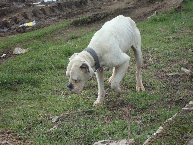 boxer alb popesti leordeni (2)
