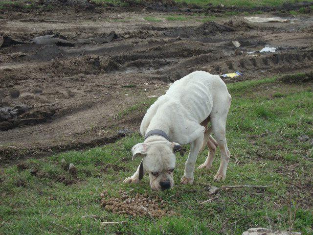 boxer alb popesti leordeni (3)