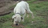 boxer alb popesti leordeni (4)