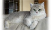cats-funny-cats-british-shorthair_1600x1200_97675