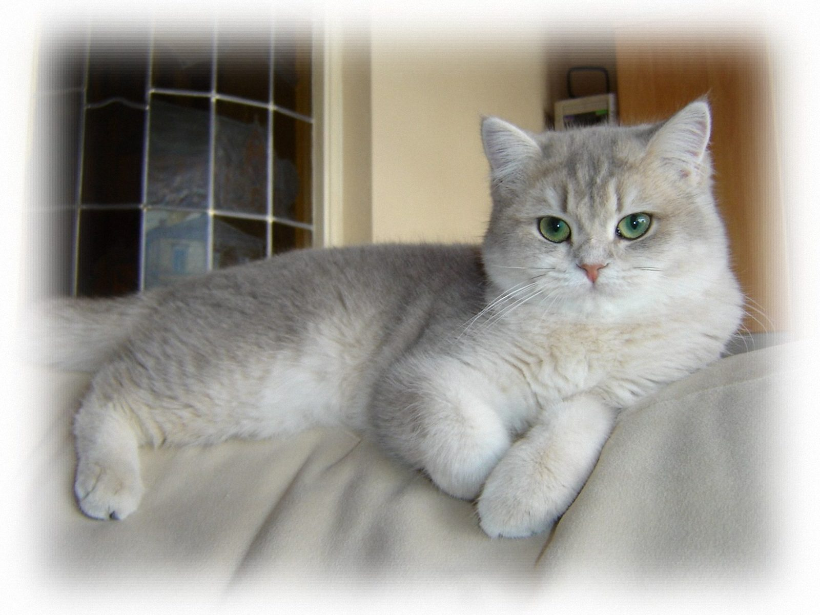 British Shorthair, o pisica blanda care zgarie    rar!
