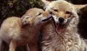 coyote-mother-and-pup-pictures