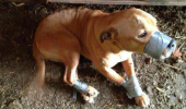 Un om de nimic! Un afacerist își tortura pitbullul pentru amuzament