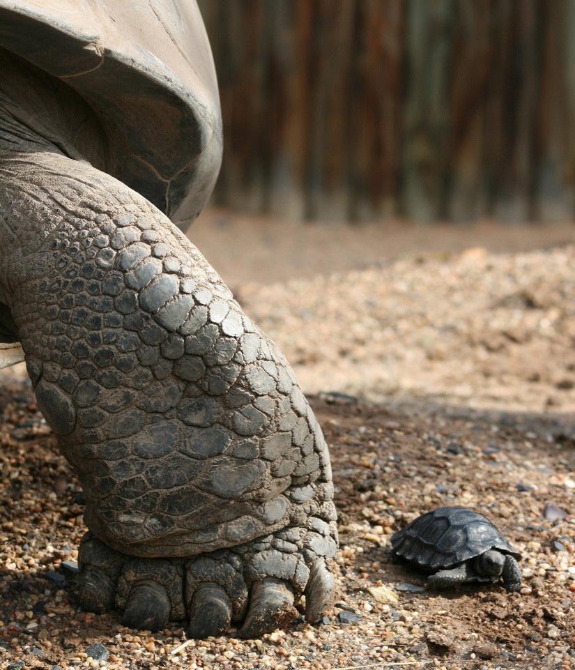 galapagos-tortoises---mother-and-daughter-big