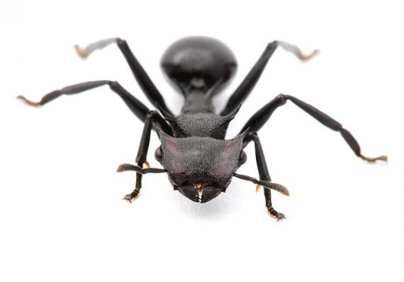 gliding-ant-570x399