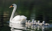 image-computer-background-baby-goose-bird-mother-animals-160354