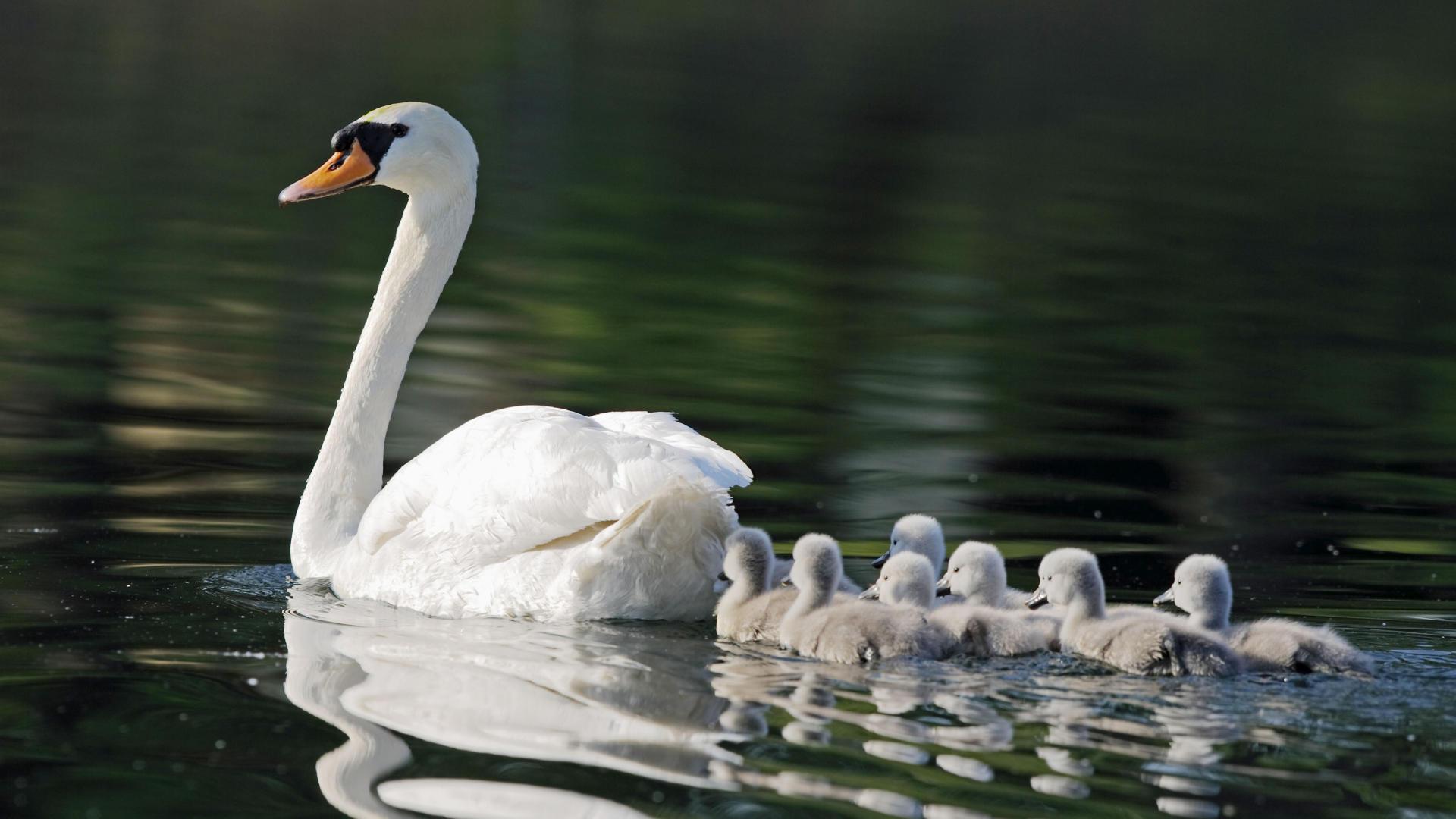 image-computer-background-baby-goose-bird-mother-animals-160354