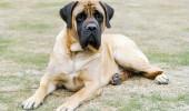 mastiff-2-645mk062411