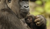 mother_and_baby_gorilla_022410_jpg_54132_orig
