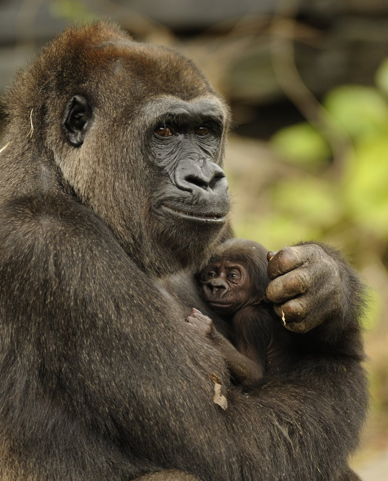 mother_and_baby_gorilla_022410_jpg_54132_orig