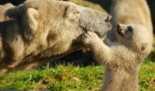 mothers-day-baby-polar-bear-with-mom1