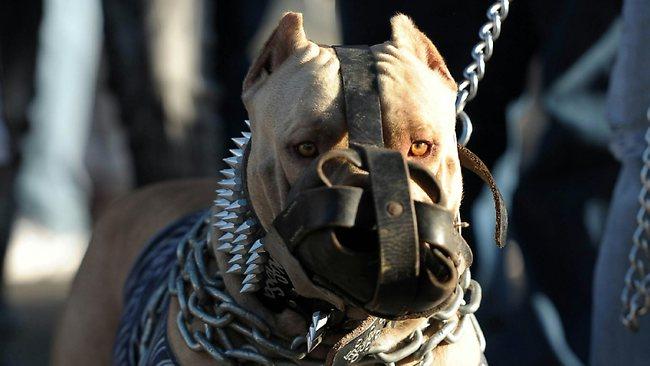 Știai că dacă nu ai împlinit 18 ani nu ai voie să ieși la plimbare cu anumite rase de câini? Sterilizarea e obligatorie!