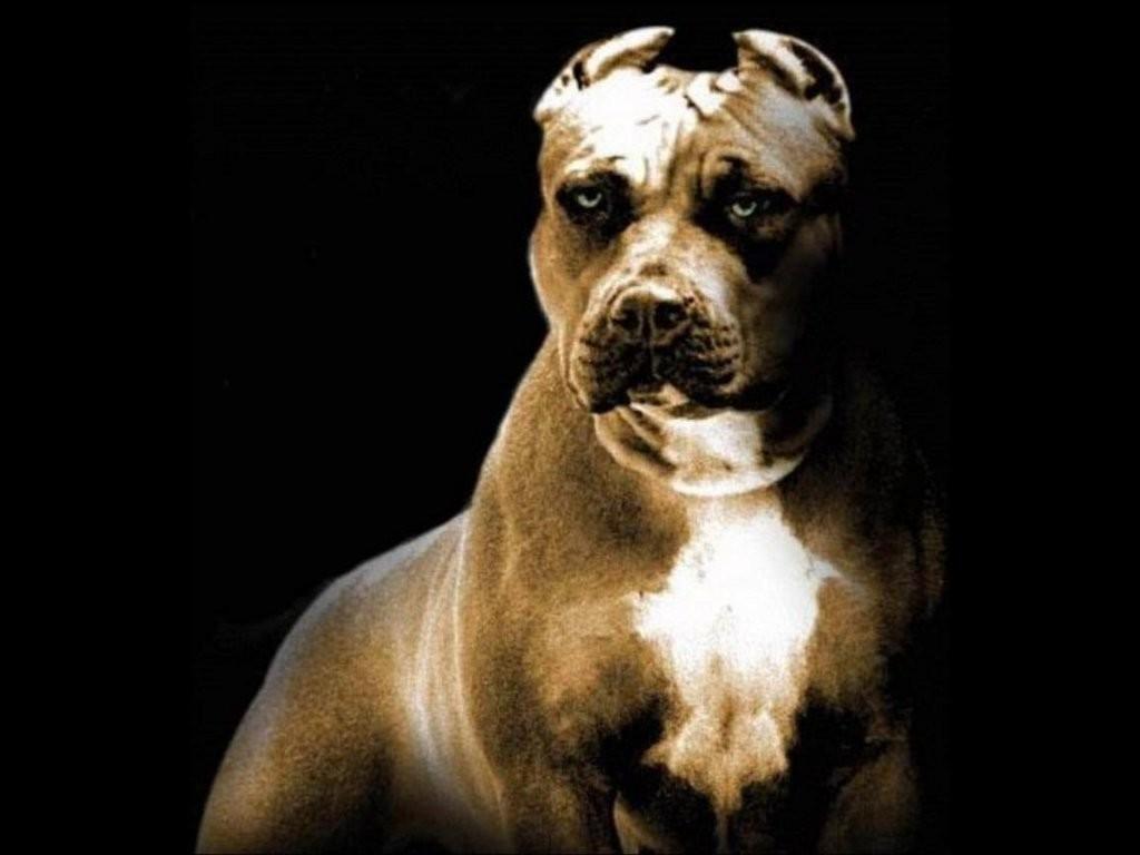 Adevaruri despre cainele din rasa Pitbull