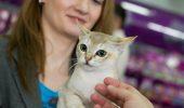 Rasa Singapura | Cea mai mica pisica din lume!