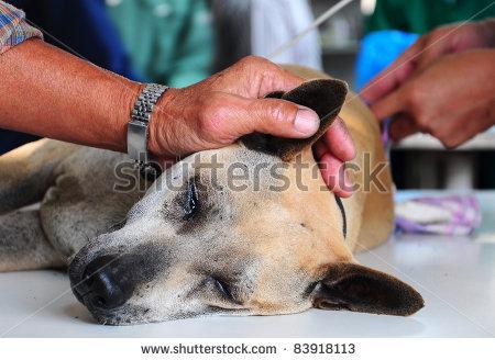 stock-photo-dog-under-anesthetic-83918113