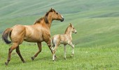 young-horse-and-his-mother-or-father-hd-horses-wallpapers