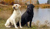 "Minunatul Labrador Retriever sau ""cainele Sf. Ioan"""