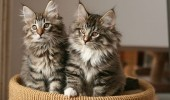 400px-Norwegian_Forest_Cat