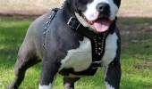 American+Pit+Bull+Terrier+puppy+pics+dogs+puppies+rednose (1)