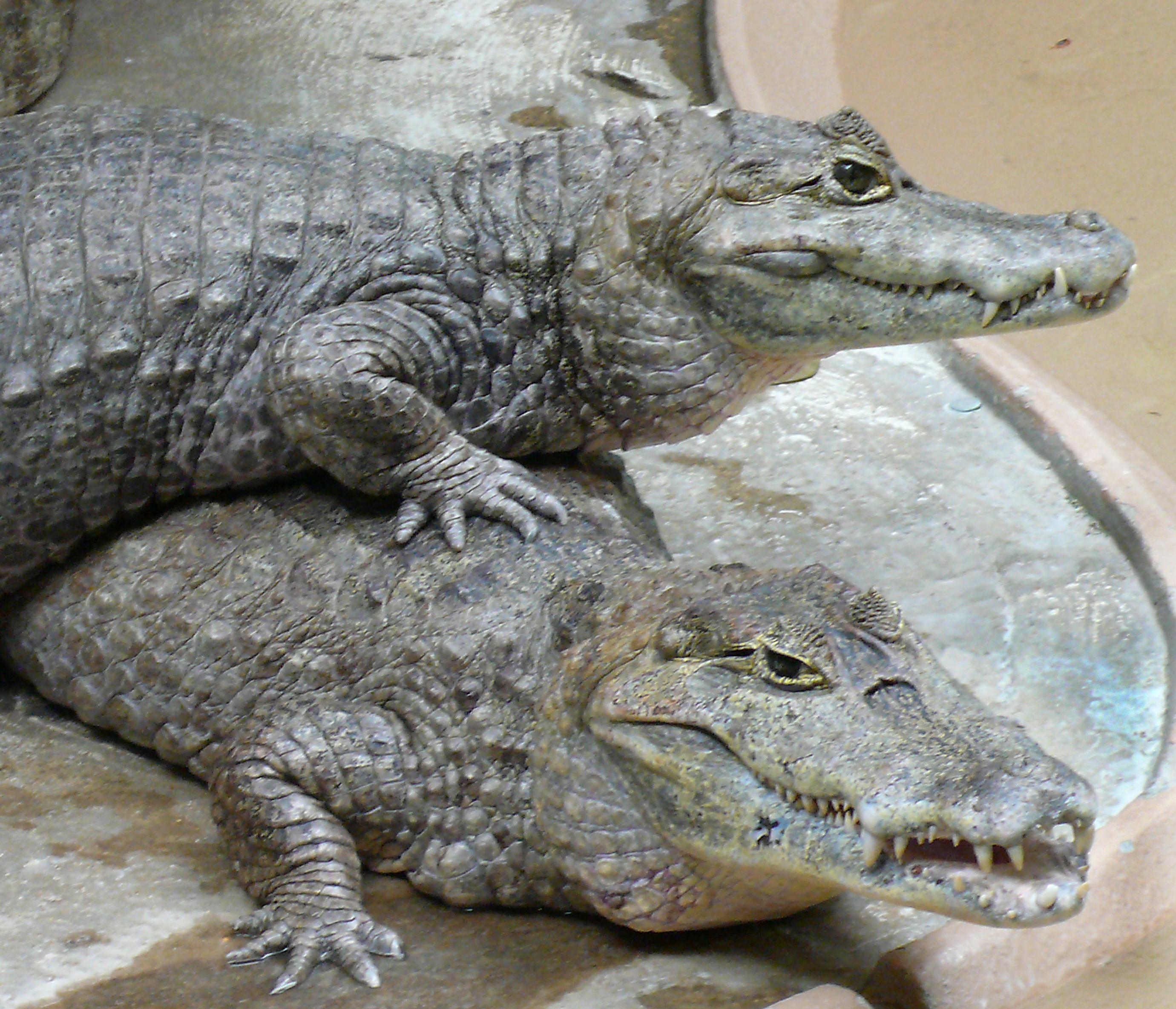 Caiman_crocodilus_pair