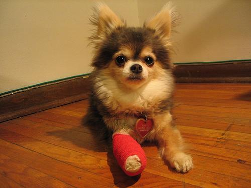 Dog_Bandage