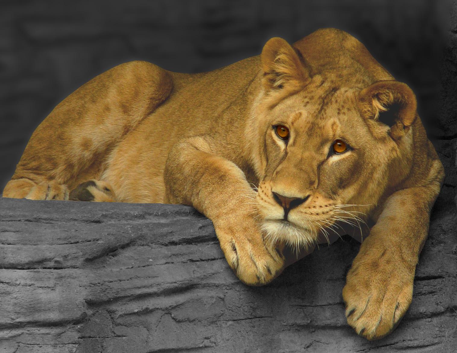 Lioness_czech_zoo